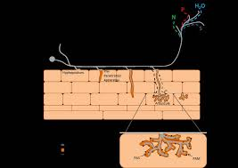 Nutrient transport in the arbuscular mycorrhizal symbiosis: the ...