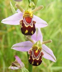 Laughing Bumble Bee Orchid (<b>Ophrys</b> bomybliflora) «Орхидея ...