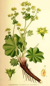 File:Nordens flora Alchemilla vulgaris.jpg - Wikipedia