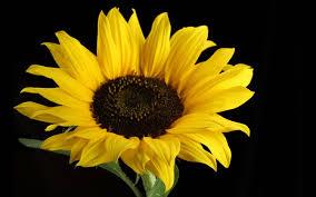 Hasil carian imej untuk beautiful sunflowers