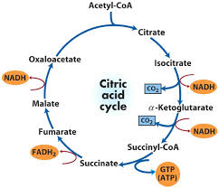 steps for krebs cycle   free collection of pictures of the water cycle    simplified chart detailing the steps of the krebs cycle on steps for krebs cycle