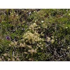 Genere Trinia - Flora Italiana