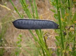Cytisus scoparius Calflora