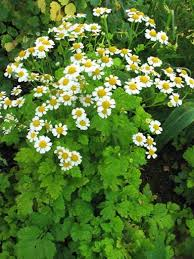 Image result for feverfew in the forest