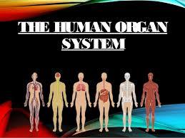 respiratory systemrespiratory system  the human organthe human organ systemsystem
