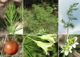 Asparagus tenuifolius Lam. (Asparagina) - Comune di Pontassieve ...