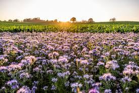 Germany, Schleswig-Holstein, Rettin, <b>Purple flowers</b> growing in field ...