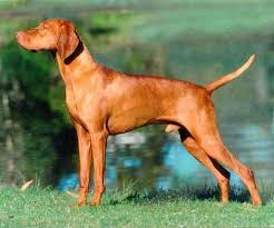 Ο σκύλος Vizla...