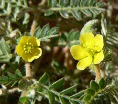 Tribulus terrestris - Wikipedia