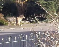 Afbeeldingsresultaat voor wolf in woonwijk