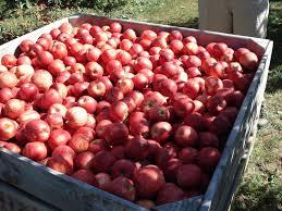 produce clerk the produce clerks handbook by rick chong how to handle royal gala apples