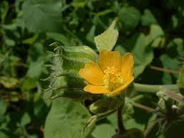 Abutilon theophrasti Calflora