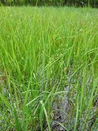 Carex pellita - Michigan Flora