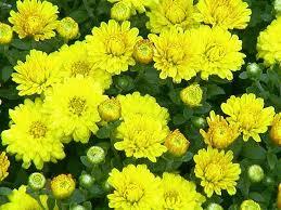 Kết quả hình ảnh cho hoa cúc