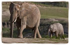 Image result for asian elephant vs african elephant