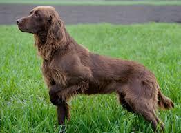 Image result for pointer dog