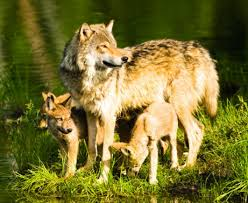 「wolves」の画像検索結果