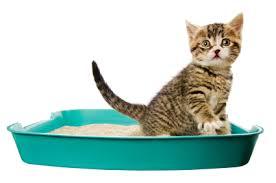 kitten in the litter box cat litter box