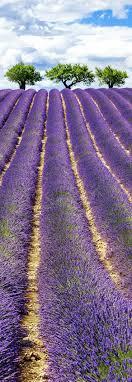 <b>Lavender fields</b>, Lavender, Provence <b>france</b>