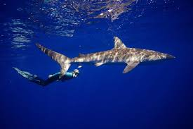 photo essay how to swim safely with sharks  pbs newshour one ocean diving programs safety diver and shark behavior expert ocean ramsey swims with a shark