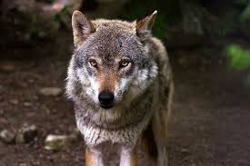 Why Do <b>Wolves Howl</b> at the <b>Full Moon</b>? - Revista Mètode