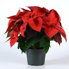 Christmas Eve Red Poinsettia