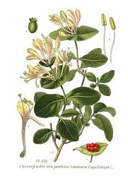 Lonicera caprifolium Italian Honeysuckle, Italian woodbine PFAF ...