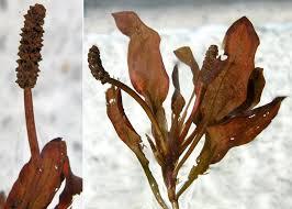 Potamogeton coloratus Hornem. - Sistema informativo sulla flora ...