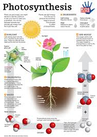 diagram of the process of photosynthesis photo album   diagrams best images of steps of photosynthesis diagram photosynthesis