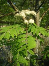 Sorbus aucuparia - Michigan Flora