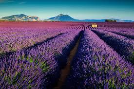 <b>Lavender Fields France</b> - Riviera Bar Crawl Tours - French Riviera