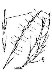 Plants Profile for Aristida longespica longespica (slimspike threeawn)