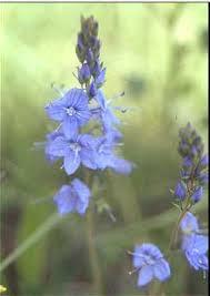 Veronica austriaca subsp. teucrium - Online Virtual Flora of Wisconsin