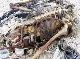 Situace je ve skutečnosti taková, že jejich žaludek je plný různých plastů. Jde o to, že otvor, kterým jde potrava a plasty dovnitř je větší, než otvor, kterým vychází ven obvykle rozložená strava-plast se nerozloží. Z plastů se do jejich těl uvolňují chemikálie, jejich maso lidé jedí a vstřebávají tu chemii dále do sebe.