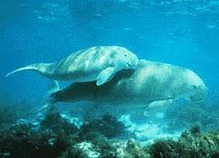 """Résultat de recherche d'images pour """"dugong"""""""