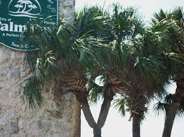 Sabal palmetto - Palmpedia - Palm Grower's Guide