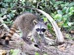 Images & Illustrations of crab-eating raccoon