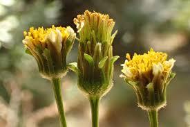 Bidens frondosa Calflora