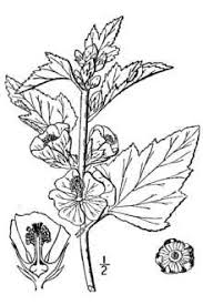 Plants Profile for Althaea officinalis (common marshmallow)
