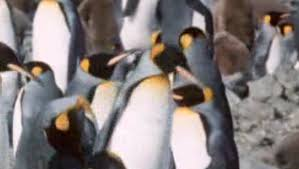 penguins of the antarctic about nature pbs penguin paso doble
