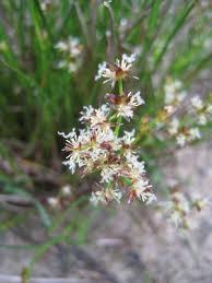 Juncus articulatus - Michigan Flora