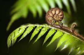 Image result for koru
