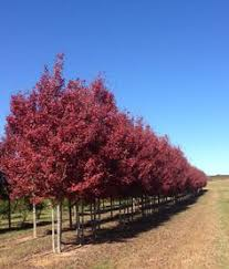 Image result for brandywine red maple