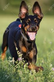 lateral move stock photos pictures royalty lateral move lateral move running doberman dog