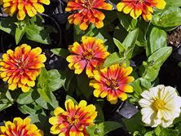 <b>Циния</b>: посадка и уход, выращивание из семян