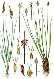 Turzyca pchla – Wikipedia, wolna encyklopedia