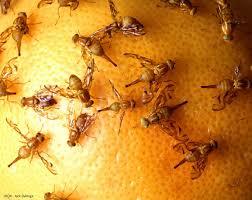 fruit flies attracted mexican fruit flies mexican fruit flies on grapefruit mexican fruit fl