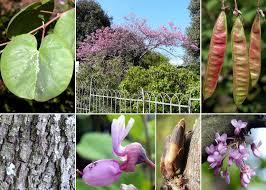 Cercis siliquastrum L. subsp. siliquastrum - Esploriamo la flora: un ...