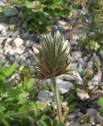 Trifolium stellatum Calflora