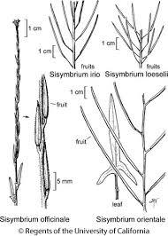 Sisymbrium officinale